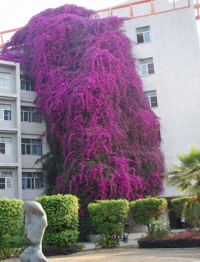 bougainvillea vera deep purple.jpg