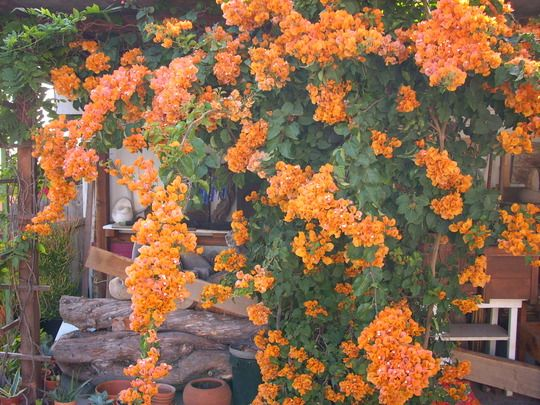Bougainvillea orange.jpg
